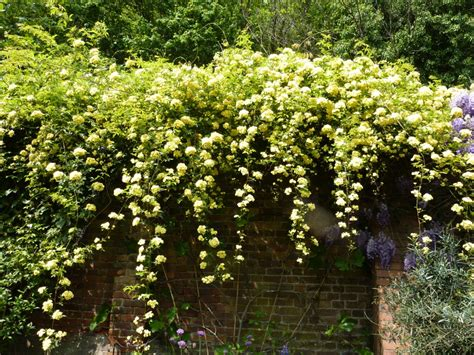 Wall Climbing Plants For Your Garden Image Gallery Flowering Climbers