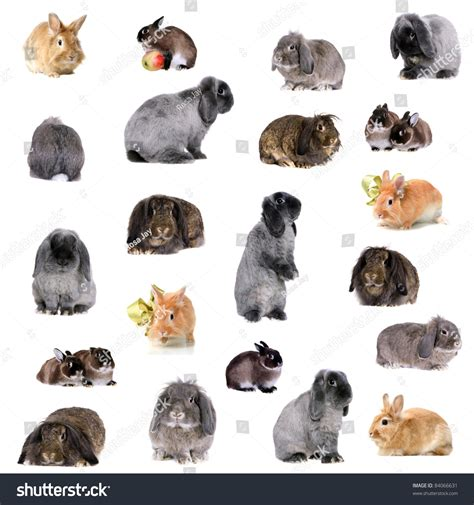 variety of breeds rabbit breed variety chart pictures to pin on