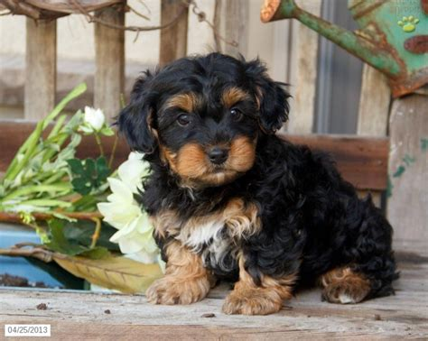 white and brown yorkie black and brown yorkie poo yorkie poo puppies pin yorkie poo 4 months