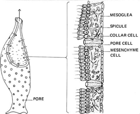 sponge external anatomy diagram sponge diagram labeled sponge free engine image for user