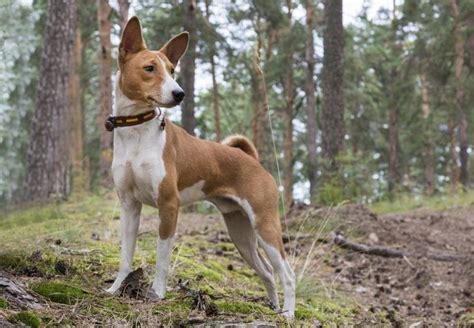 basenji puppy cost basenji price range basenji puppies for sale cost best basenji breeders