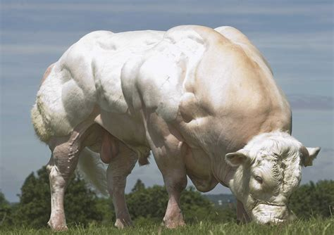 world record belgian blue bull breeds picture