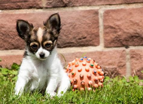 shortest living breed top 10 smallest breeds in the world the mysterious world
