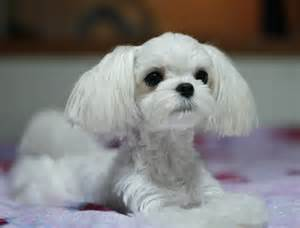 pictures of hairstyles for maltese dogs maltese haircuts dog breeds picture