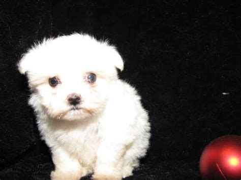 maltese puppies for sale in az view ad maltese puppy for sale arizona tucson