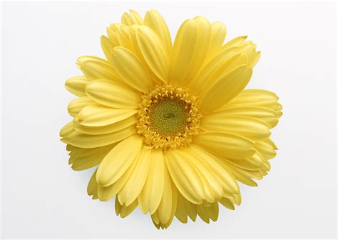 Flower Pic by Cartoon Yellow Flower Viewing Gallery