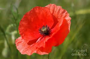 Poppy Shower Curtain Beautiful Poppies 7 Photograph By Carol Lynch