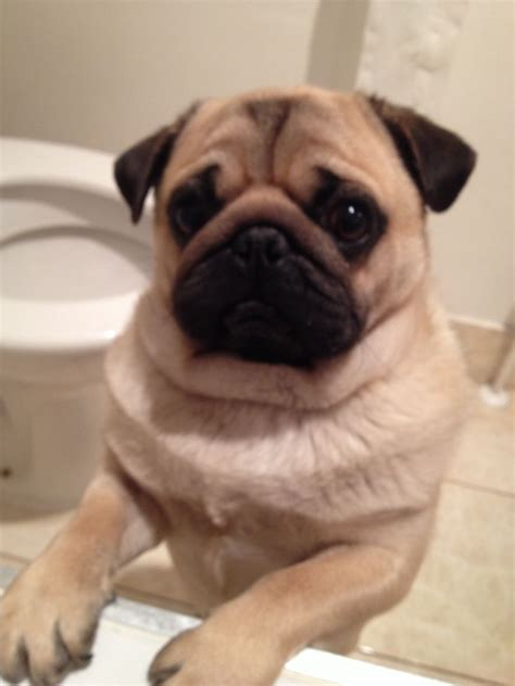pug 1 year kc handsome pug for sale quotes