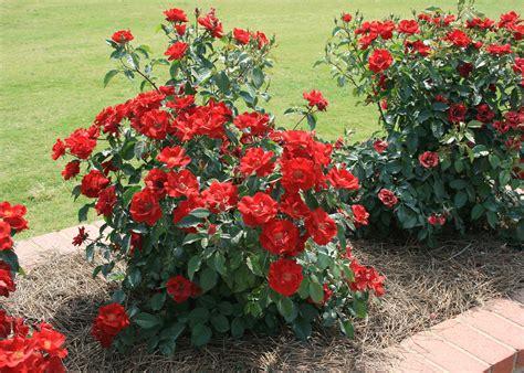 home gardeners  enjoy garden roses mississippi state