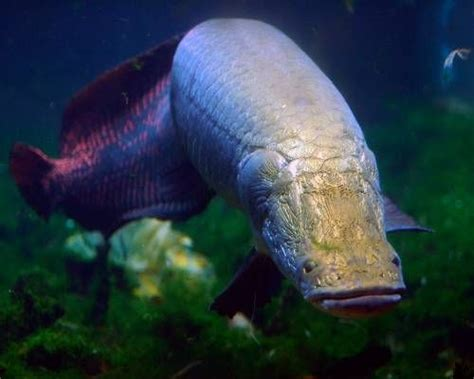 Freshwater Fish arapaima 11 largest freshwater fish in the world mnn