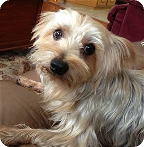 yorkie and terrier mix poppy adopted yakima wa yorkie terrier mix