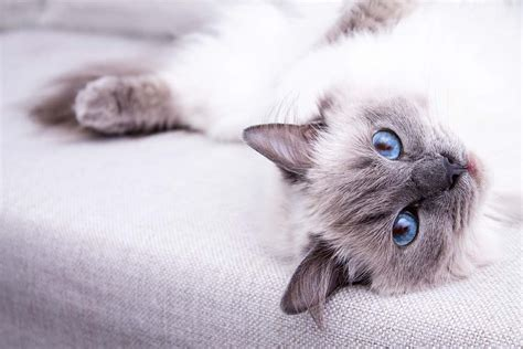 ragdoll information ragdoll cat breed information photos history and care advice