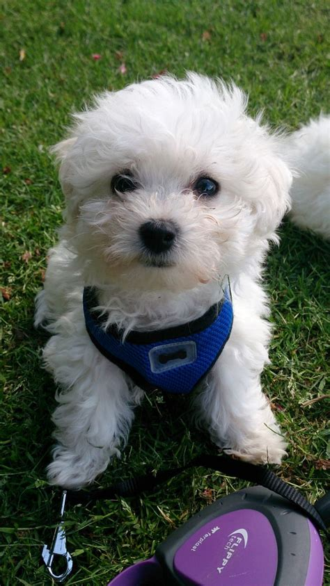 maltese bichon puppies for sale beautiful maltese x bichon puppies for sale enfield middlesex pets4homes
