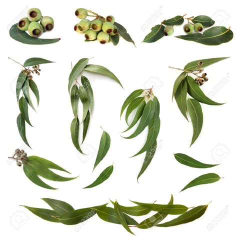 printable gum leaves collection of eucalyptus leaves and gum nuts isolated on