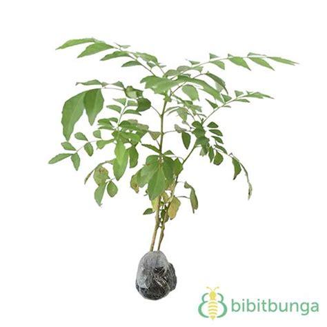 Tanaman Daun Kari tanaman daun kari salam koja