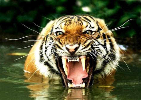 fotos animales tigres tigre de bengala panthera tigris tigris animales