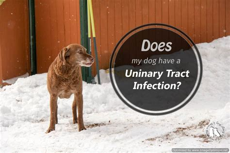 puppy urinary tract infection recognizing urinary tract infections in dogs 2 brown dawgs