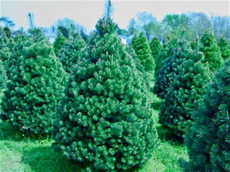 christmas tree growers association buffalo ny delaware tree growers association delaware cut and balled tree care