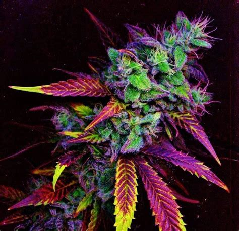 marijuana colors rainbow of color on this cannabis plant cannabis