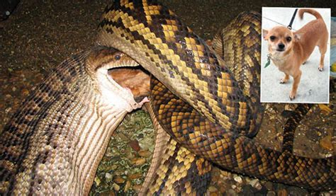 snake eats puppy snake eats family nature news