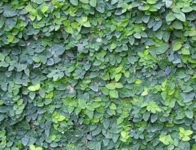 Drought Tolerant Climbing Plants - ficus pumila moraceae creeping fig
