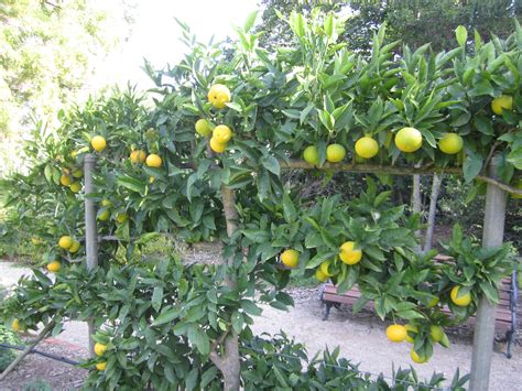 espaliered fruit trees programmed property services