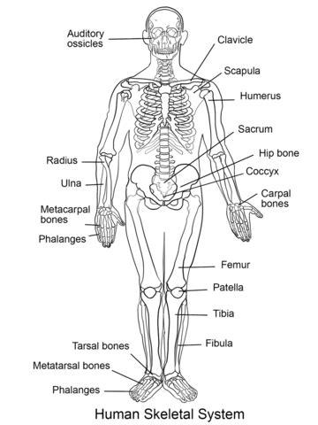 Human Skeletal System coloring page   Free Printable