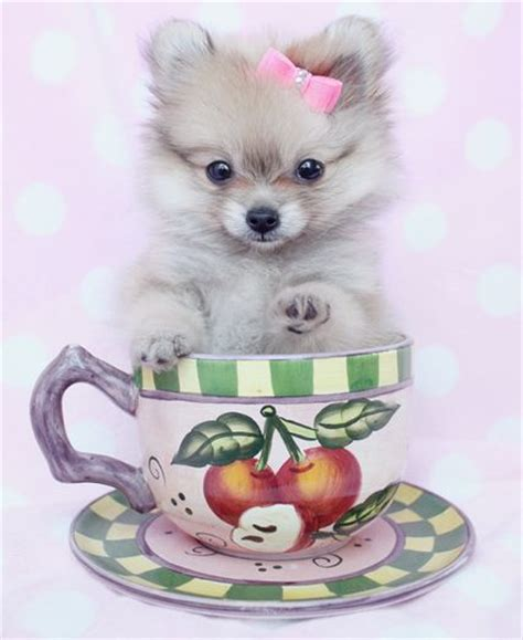 pomeranian puppies reno 62 best images about teacup pomeranians pomeranian puppies on teacup