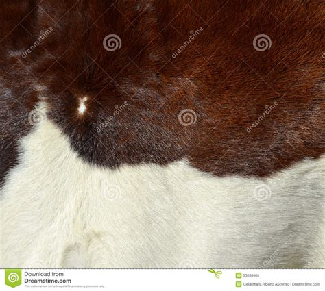 cow fur texture white and brown cow fur texture stock photo image 53698965