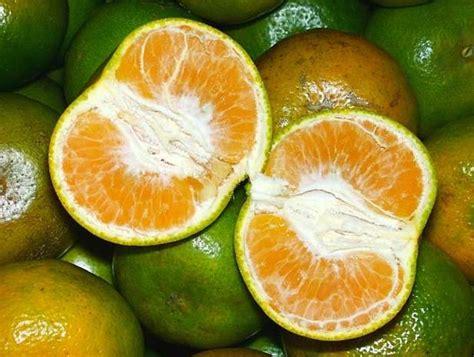 tanaman jeruk siam pontianak bibitbunga