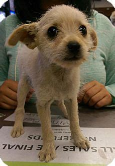 yorkie rescue utah adopted puppy ogden ut yorkie terrier chihuahua mix