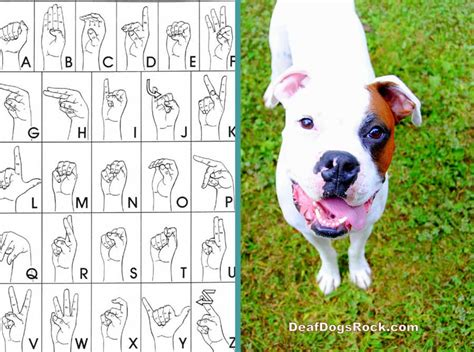 how to a deaf puppy beginning sign deaf dogs rock