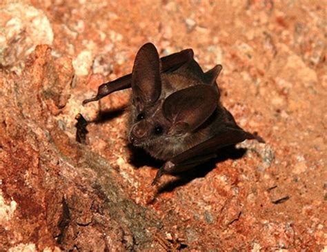 new zealand lesser short tailed bat life expectancy
