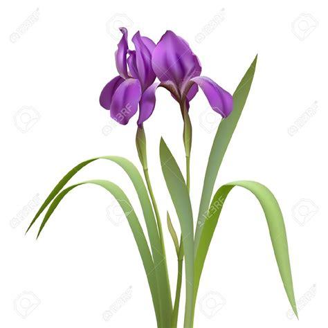 fiori clip iris flower clipart 51 136 iris flower clipart