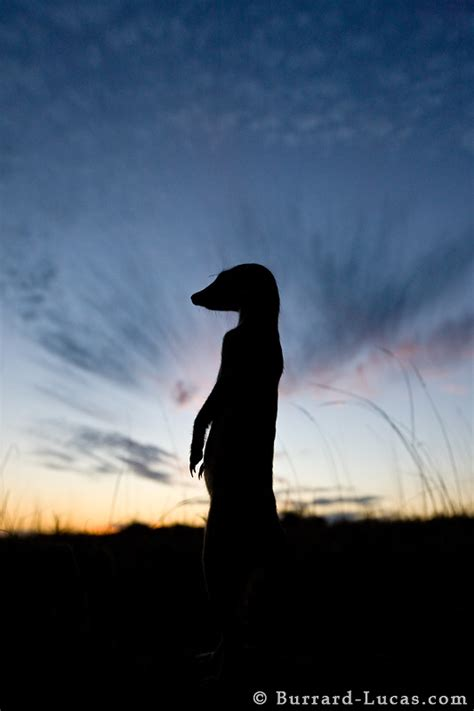 meerkat silhouette burrard lucas photography