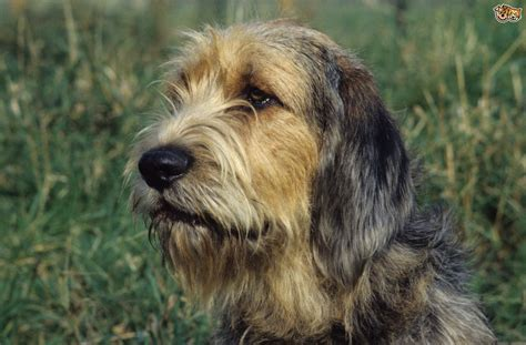 otterhound puppies otterhound breed information buying advice photos and facts pets4homes