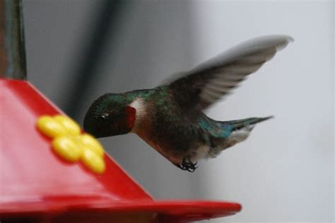 ruby throated hummingbirds