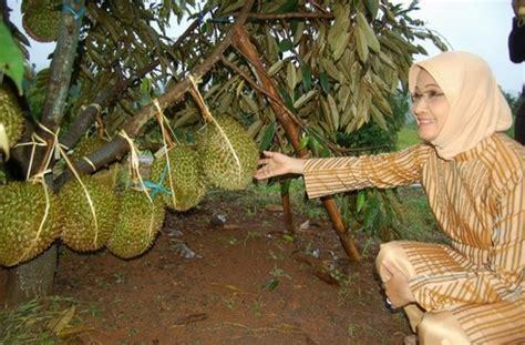 Bibit Durian Bawor Kaki 5 bibit durian bawor produk pt nusantara