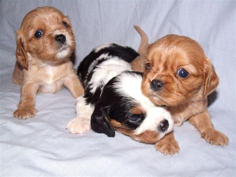 king charles cavalier spaniel puppy king charles spaniel puppies for sale and king charles
