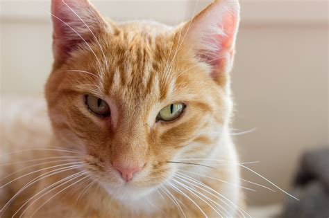 when to euthanize a deciding when to euthanize a sick cat petful