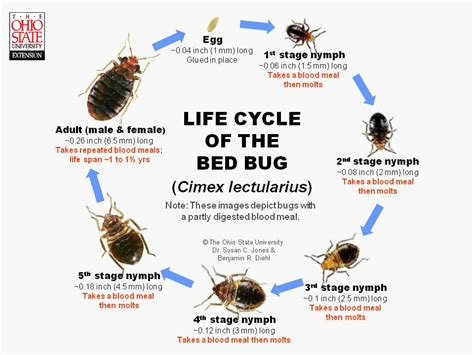 bed bug life span bed bug life cycle without food pictures to pin on