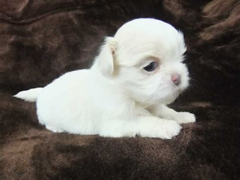and white shih tzu white imperial shih tzu puppies from blue