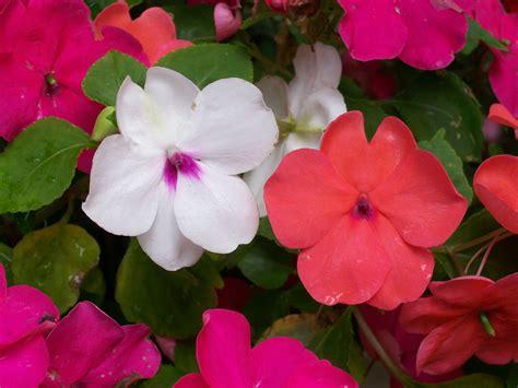 impatiens   plant grow  care  impatiens