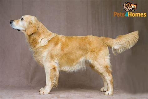 golden retriever dog breed information buying advice