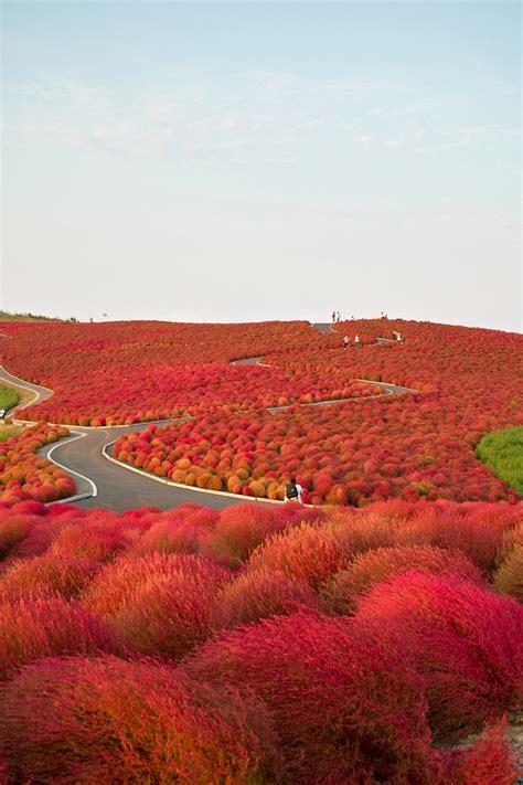 kochia hill hitachinaka city japan imgur