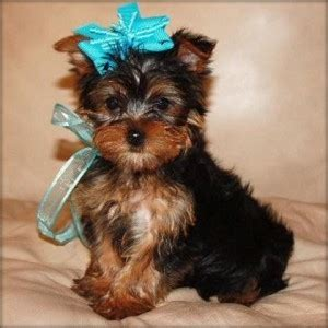 yorkie puppies for adoption in pa dogs york pa free classified ads