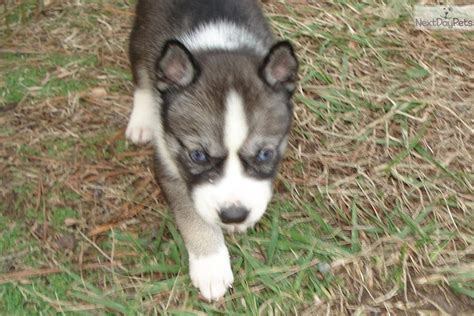 agouti husky puppies for sale siberian husky puppy for sale near eastern shore maryland 32f7c96d a341
