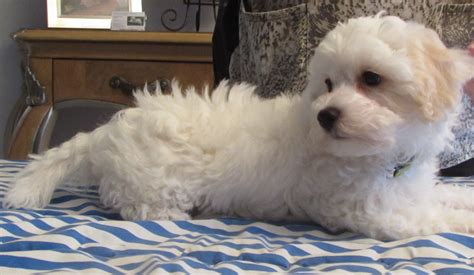 white maltipoo puppies last all white maltipoo moving on to his new home artistry pups malti poo