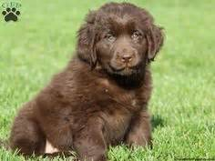 newfoundland puppies for sale in pa newfoundland puppies on newfoundland dogs newfoundland and snow dogs