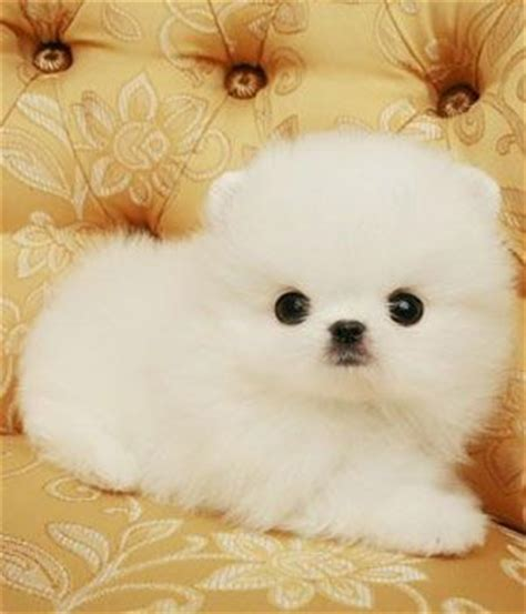 pomeranian puffball 17 best images about pomeranian pictures on teacup pomeranian teacup